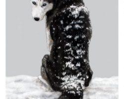 crhusky_snow1