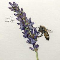 Pastel study of honeybee on lavender